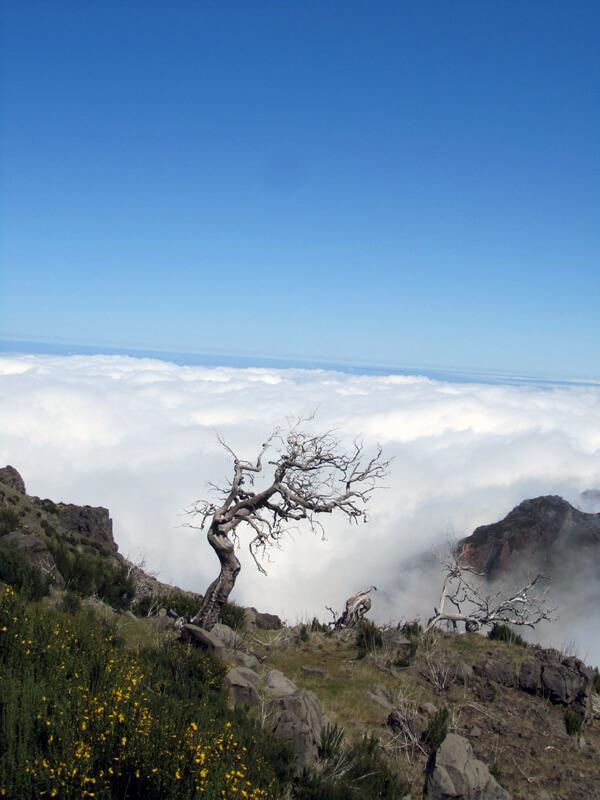 Der weiße Baum vom Pico Ruivo