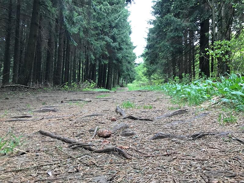 Wurzelweg in einem Nadelwald