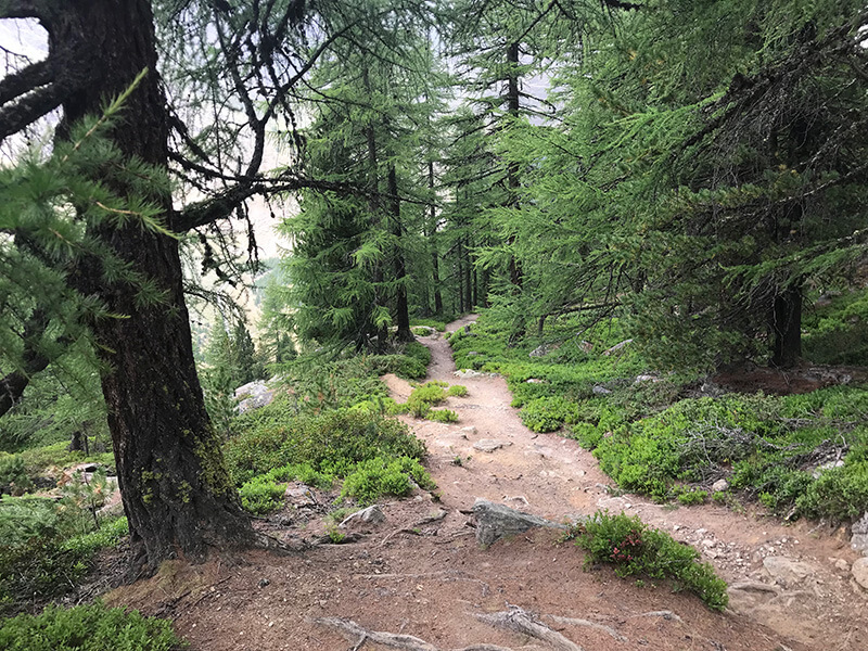 Kiefernwald auf dem Weg  zurück nach Saas-Fee