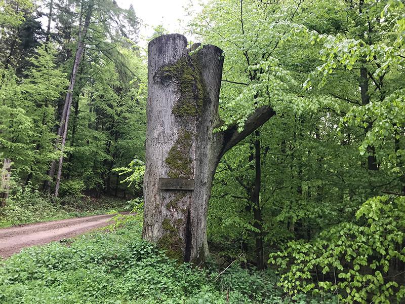 Naturdenkmal Fresseiche