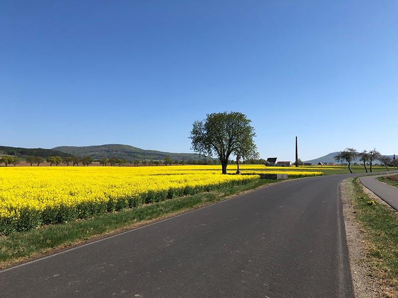 Rapsfeld entlang des Radwegs nach Schleid
