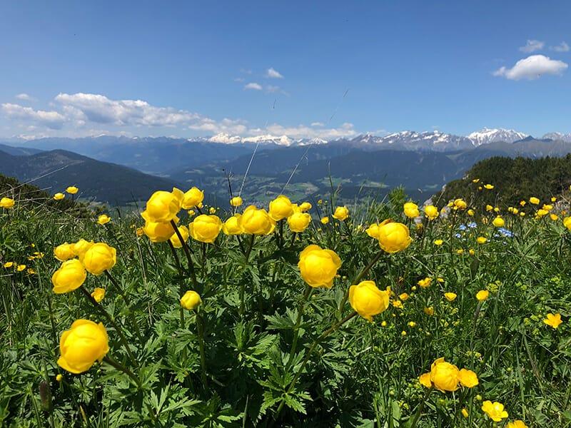 unzählige Trollblumen und im Hintergrund die Rieserfernergruppe