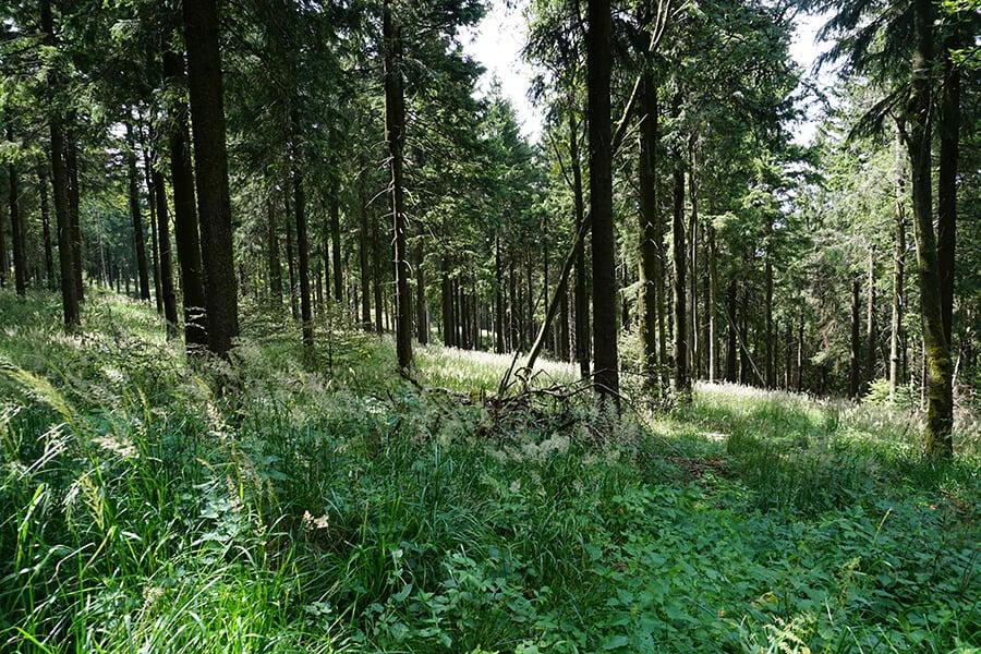 Der Wald am Rennsteig