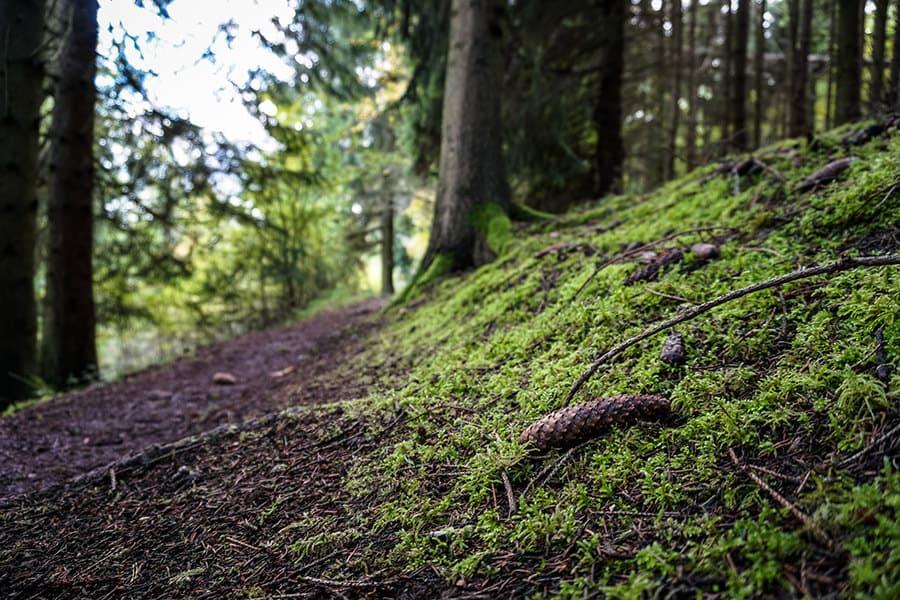 Schmaler Pfad unter Nadelbäumen