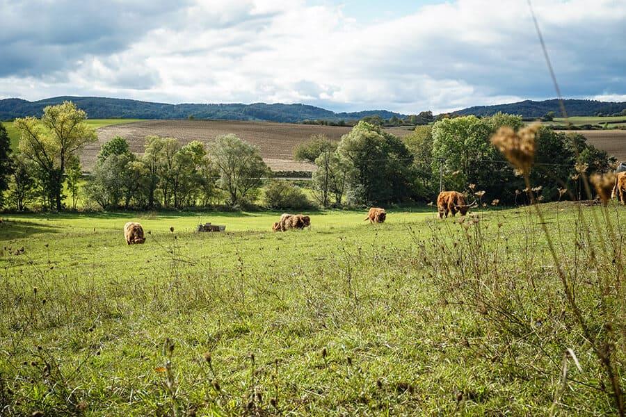 schottische Hochlandrinder kurz vor Wiesenfeld